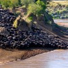 Wildebeest Migration Update